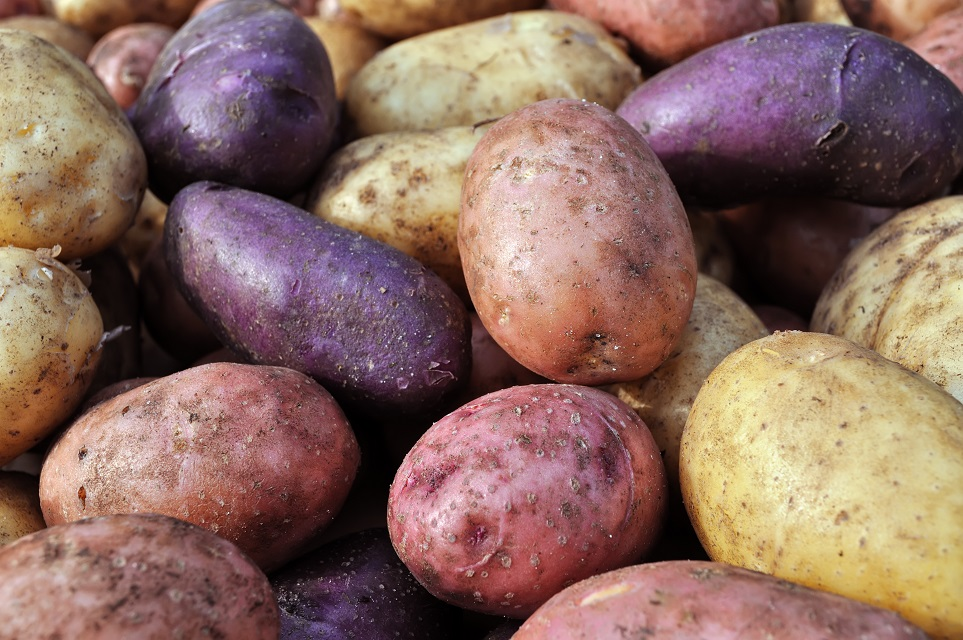close-up of the different potatoes after harvesting
