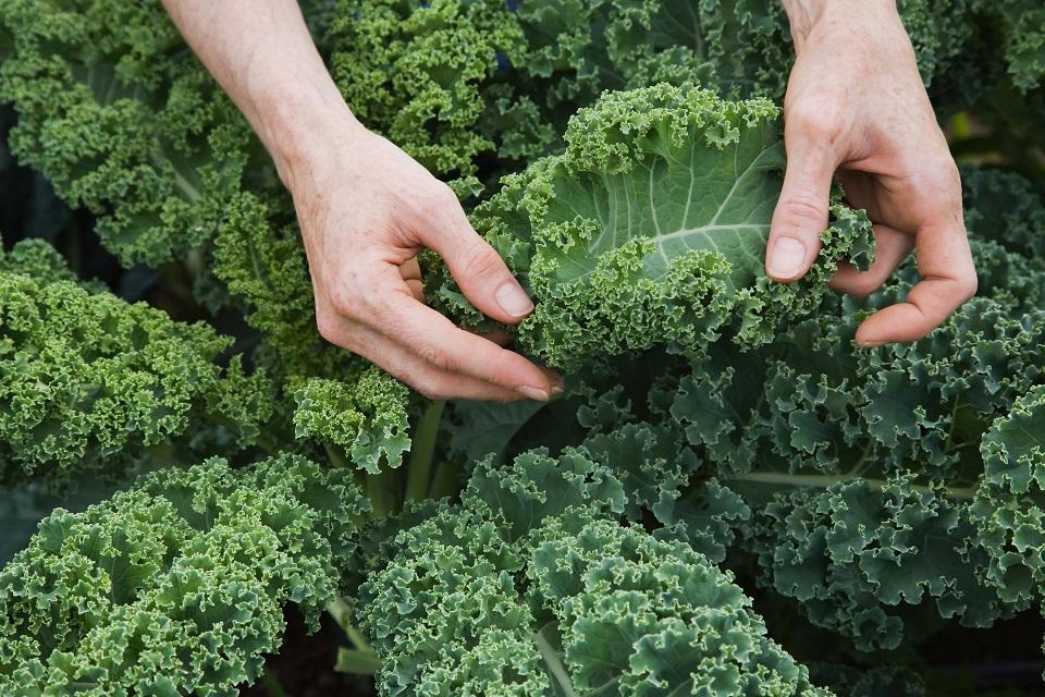 hands holding kale leaves